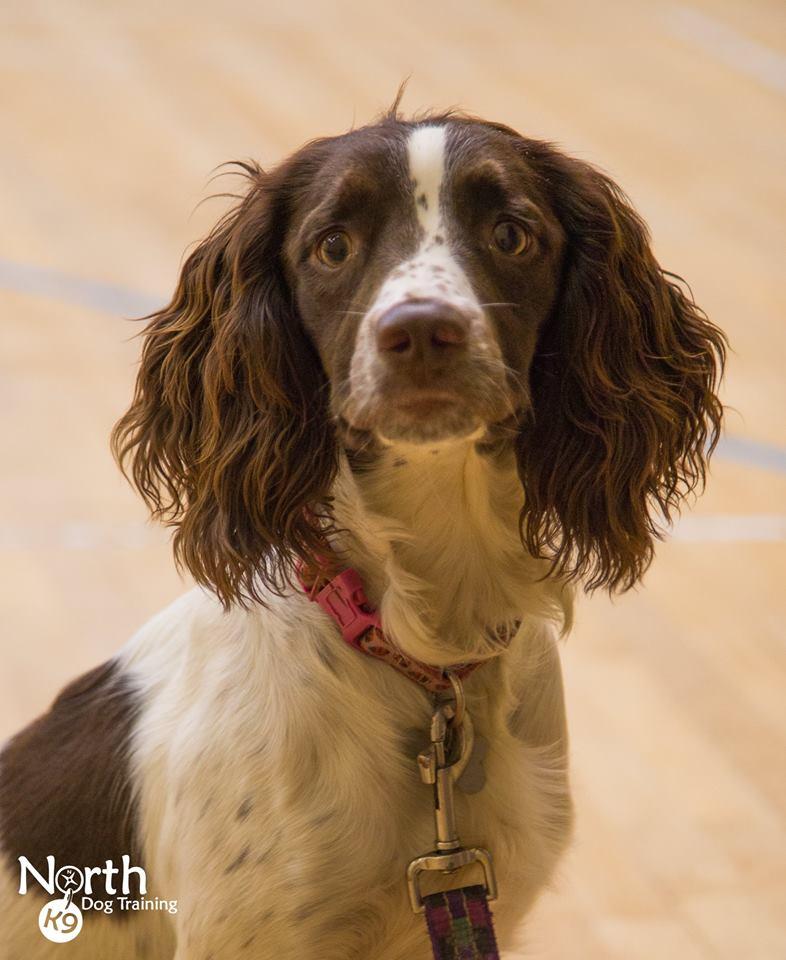 Introduction to Gundog Training | North K9 Dog Training