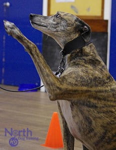 Bertie at North K9's dog training classes