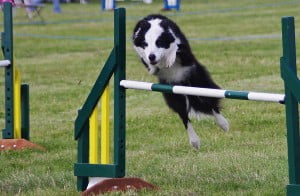 Dog Agility Training in Huddersfield