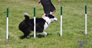 a black/white border collie dog six weaves through white/green weaving poles. The handler is running alongside the dog. It is sunny, the rest of the image is green grass.
